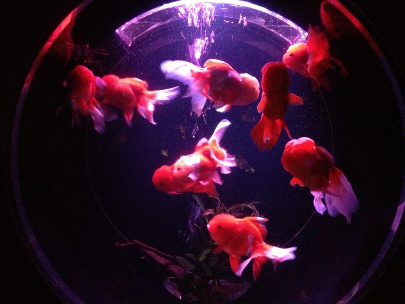 丸い水槽と金魚